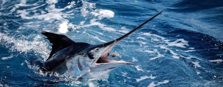 Marlin fishing on the Gold Coast | Boat Gold Coast