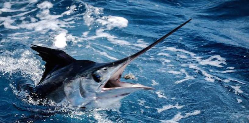 Marlin fishing on the Gold Coast