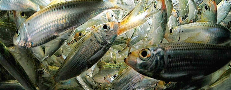 Fishing: Marine baits in freshwater
