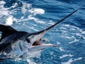 Marlin fishing on the Gold Coast
