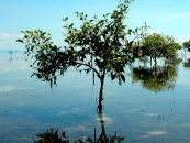 Mangroves: For Good Boating and Fishing