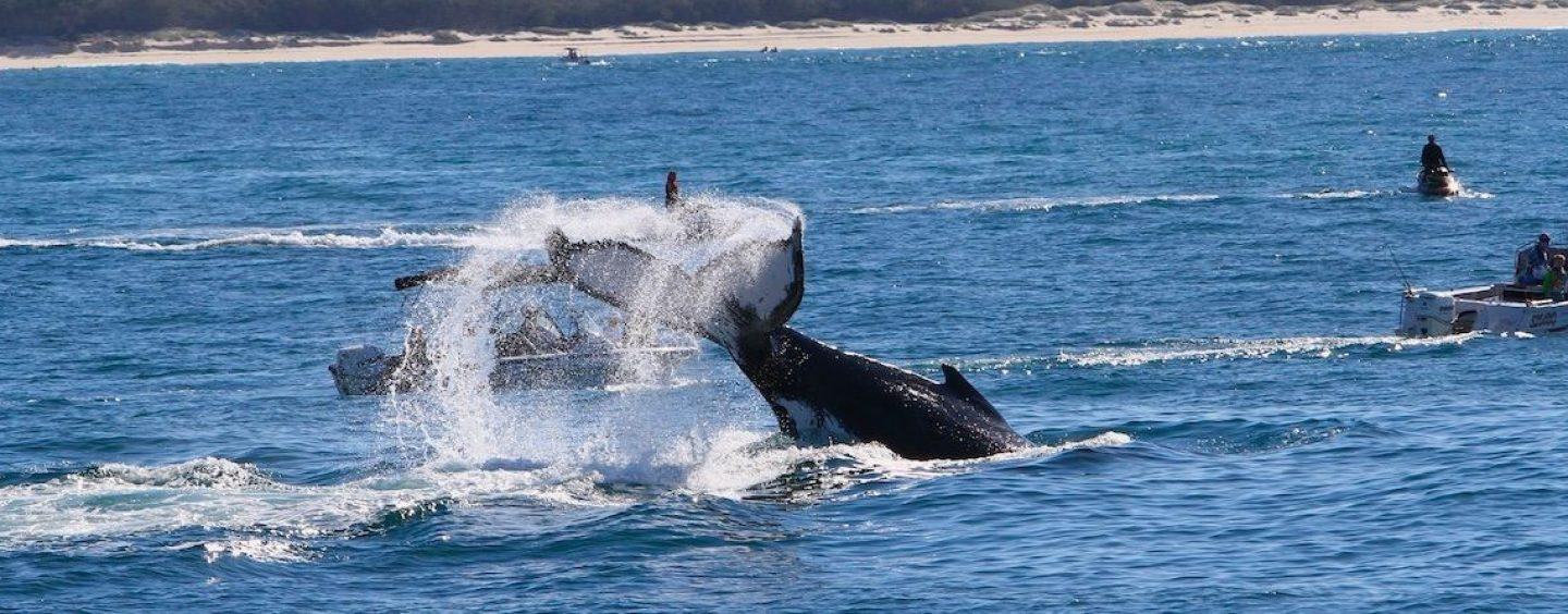 Humpbacks: Beyond Whale-Watching