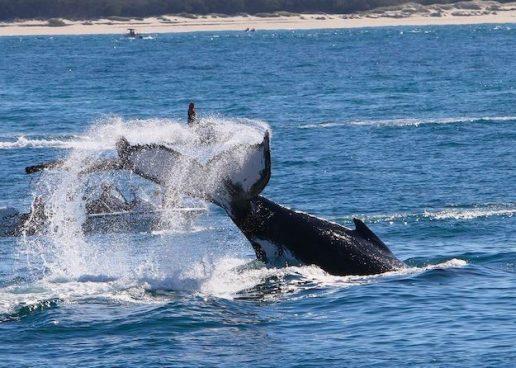 Humpbacks: Beyond Whale-Watching